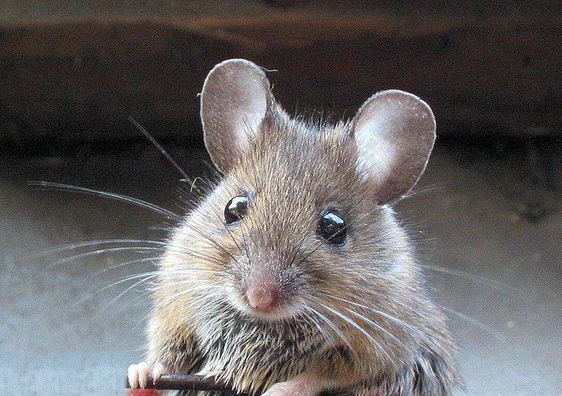 Lukisan Tikus Makan Keju Di Dapur Desainrumahid