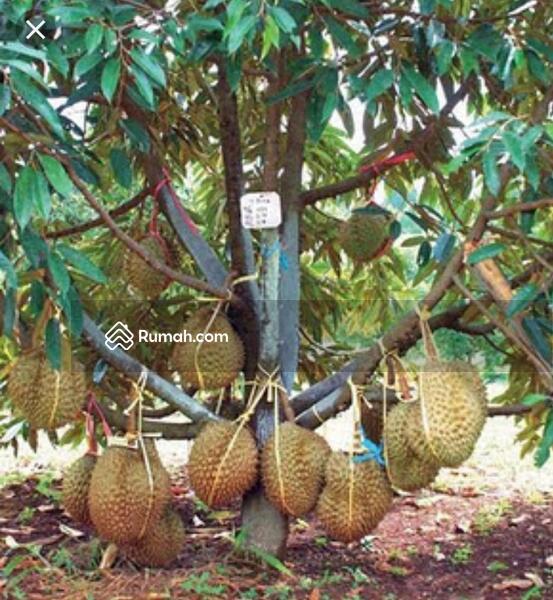 Wisata Ke Agrowisata Kebun Durian