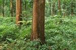 Kebun Mahoni Siap Panen 18. 000 Pohon