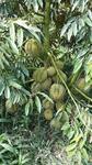 Tanah Perkebunan Durian Monthong