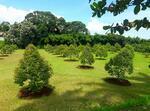 Kavling Kebun Durian Bawor Investasi menguntungkan dgn View G. Angsana dan G. Salak di Jasinga Bogor