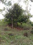 Murah Tanah 2300 m2 Kebun Durian dan Manggis di Bojong Purwakarta