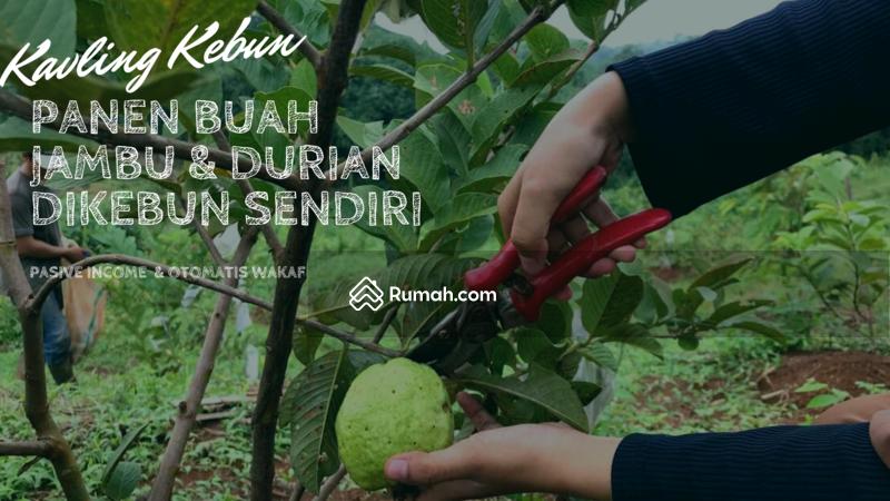 Panen Buah Jambu & durian