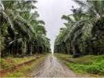 Dijual Tanah di Kawasan Ibu Kota Negara, Hanya 50rb an per meter, Bonus Kebun Sawit dg Hasil 130 ton