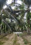 (3850IK) Lahan Kebun Sawit Produktif Kutai Kartanegara Kalimantan Timur Murah